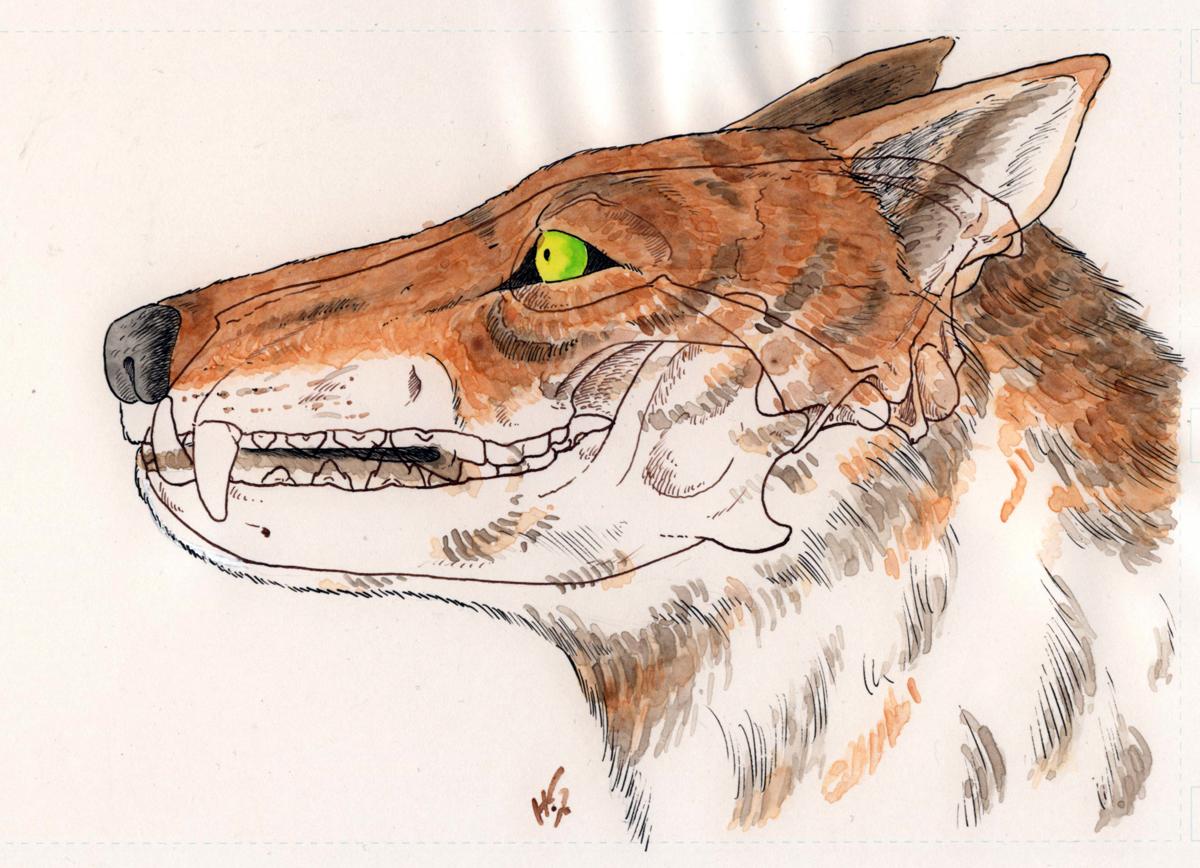 ニホンオオカミの画像 p1_38
